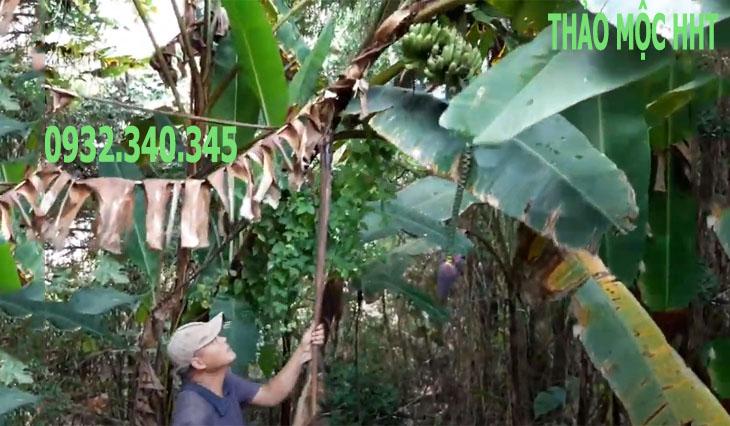 Chuối hột được khai thác trong rừng